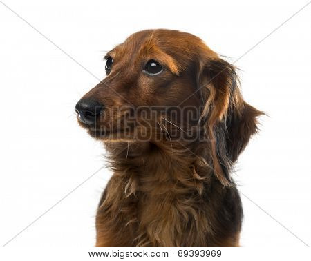 Dachshund in front of a white background
