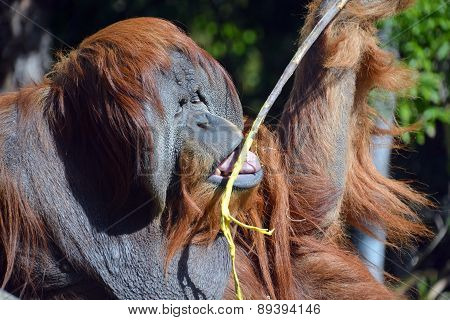 The orangutans