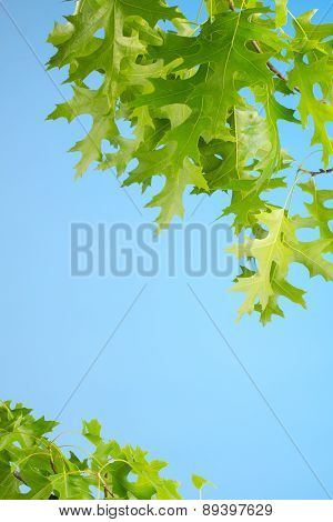 Bright Green Red Oak Leaves