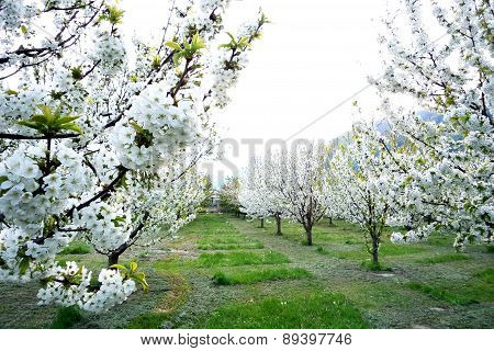Blooming Trees With White Blossom In The Spring