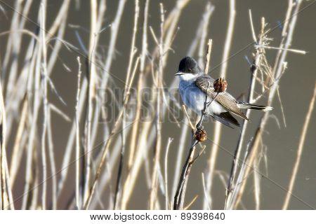 Eastern Kingbird In Reeds