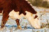 stock photo of cattle breeding  - Highland catlle cow breed close up - JPG
