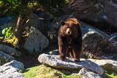 pic of blue ridge mountains  - A Cinnamon colored black bear at the nature museum at Grandfather Mountain in the Blue Ridge Mountains of North Carolina - JPG