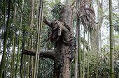 image of bobcat  - bobcat sleeping high in the tree branch - JPG