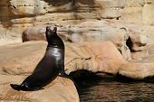 stock photo of sea lion  - The picture contain a sea lion with its head facing the sky while screaming - JPG