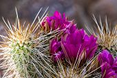 picture of cactus  - close up of a beautiful purple flower on a desert cactus in Arizona - JPG
