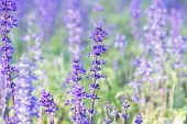 foto of salvia  - Beautiful spring background with Salvia farinacea Benth - JPG