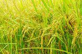 stock photo of rice  - rice fields or rice paddies stalks of rice - JPG