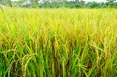 pic of rice  - rice fields or rice paddies stalks of rice - JPG