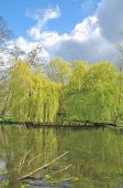 pic of weeping willow tree  - Weeping Willow Trees in Schwalm - JPG