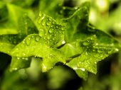 picture of ivy  - A close-up view of Ivy leaves with rain drops on them.