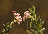 pic of ladybug  - mantis and ladybug are sitting on the neighboring branches  - JPG