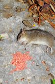 stock photo of rats  - Dead rat lying on a rock by rat poison Calahonda Costa del Sol Malaga Province Andalucia Spain Western Europe - JPG