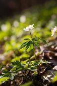 foto of primrose  - Beautiful anemones - JPG