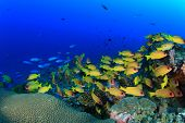 picture of school fish  - School yellow fish  - JPG