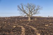foto of prairie  - A large oak tree although bare still stands following a prairie fire - JPG