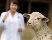 image of lamb  - Cute lamb portrait with veterinarian in background - JPG
