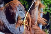 stock photo of rainforest  - The orangutans - JPG