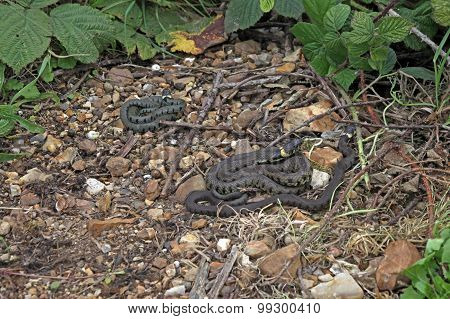British Grass Snakes