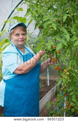 Senior pensioner woman wearing apron and cap in greenhouse with tomato