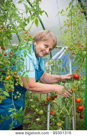 Senior pensioner woman work in greenhouse with tomato