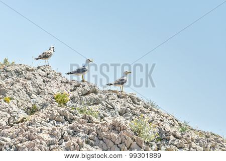 Seagull Family Is Standing On The Rocks