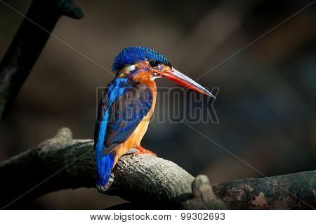 Blue-eared Kingfisher (female)