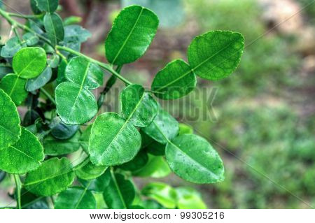 Kaffir lime leaf, blur background.