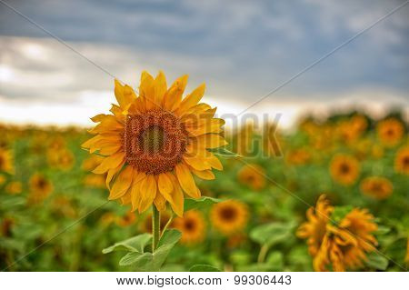 beautiful sunflowers at field with blue sky
