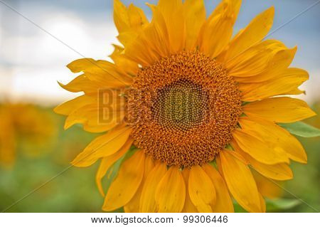 beautiful sunflowers at field with blue sky, closeup