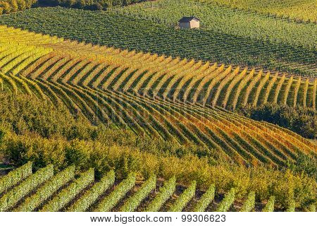 Rows of backlit autumnal vineyards in Piedmont, Northern Italy.