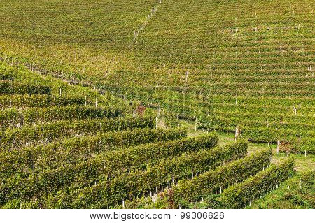Rows of autumnal vineyards in Piedmont, Northern Italy.