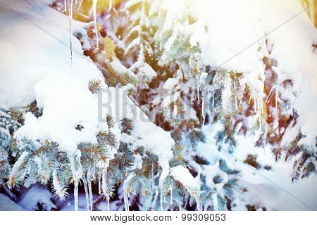 Fir-tree with snow and icicles with sunlight