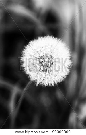 White dandelion in shades of grey