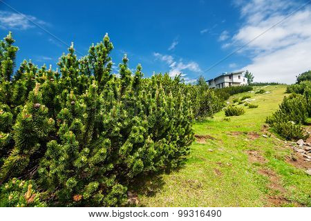Dwarf pine next to mountain hut in summer
