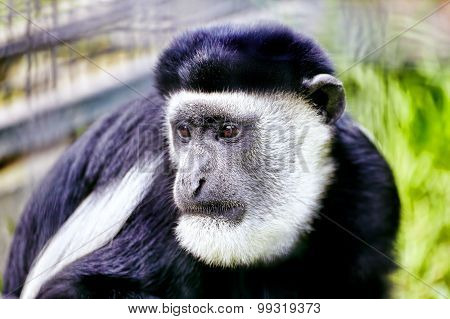 Abyssinian Black And White Colobus.