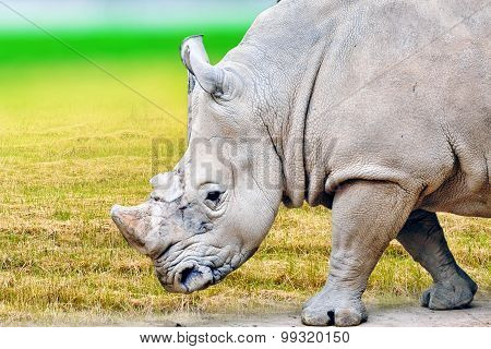 Rhino / Rhinoceros Grazing On Nature.