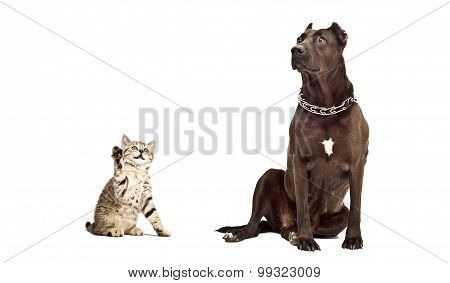 Staffordshire Terrier and kitten Scottish Straight