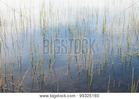 Abstract pattern of reeds in wetland