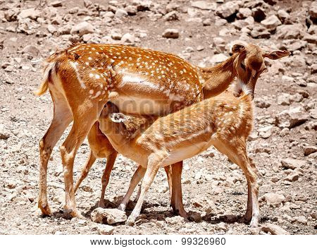 Fallow Deer Mother Suckles Her Babies