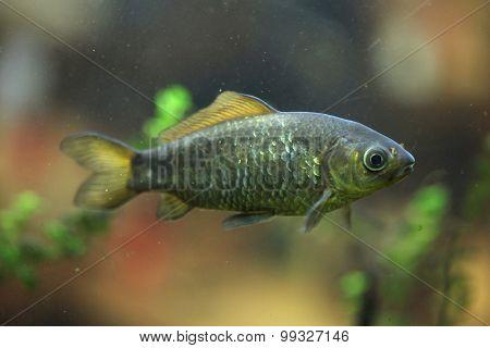 Freshwater fish. Wild life animal.