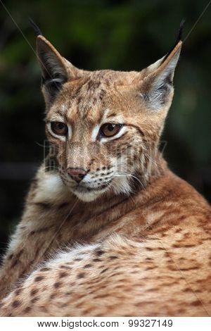 Carpathian lynx (Lynx lynx carpathica). Wild life animal.