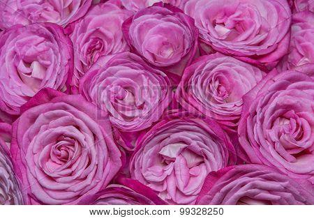White-pink Roses