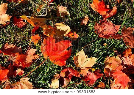 Maple Leaves On The Grass