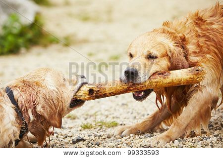 Two Dogs With Stick