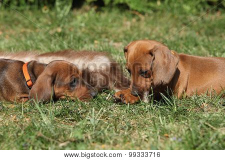 Two Amazing Dachshund Puppies Laying In The Garden