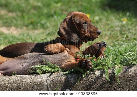 Nice Dachshund Puppies Laying In The Garden