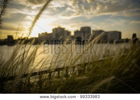 Grass Flower In Riverside Under Sunset