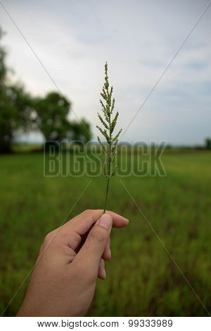Grass In The Rice Field