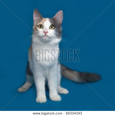Fluffy Tricolor Cat Sitting On Blue